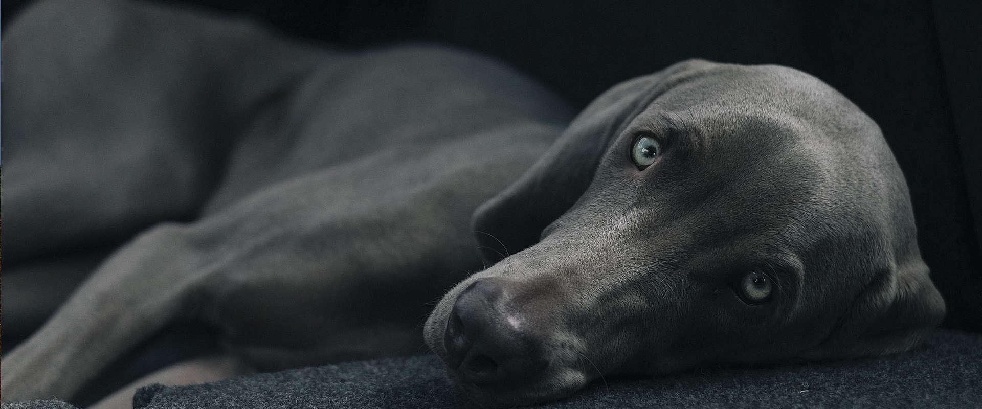 Acheter un chien de race dans un élevage